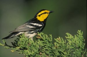 Golden-cheeked Warbler, Dendroica chrysoparia. (c) Steve Maslowski, US Fish and Wildlife Service.